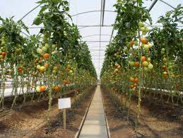 Hothouse tomatoes grown in Ontario are pesticide ansd GMO free!