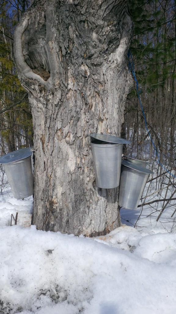 Tapped Sugar Maple producing sap for maple syrup