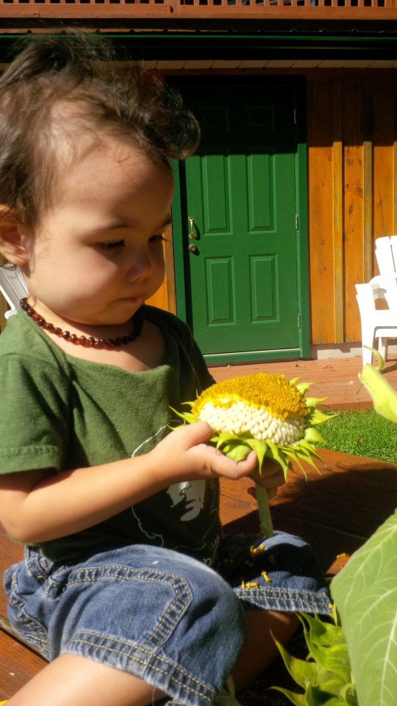 Harvesting sunflowers with kids is fun and easy