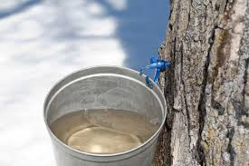 Sap harvested in buckets