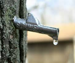The sap is starting to flow from a freshly tapped maple tree