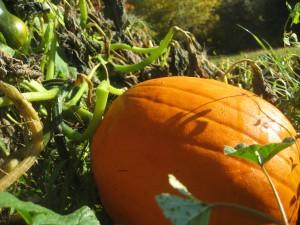 Sun kissed pumpkins